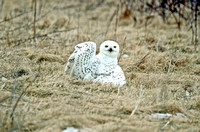 Snowl Owl left wing ground.   Copyright Heidi Morgan