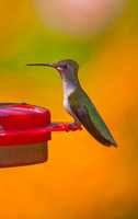 Ruby-throated Hummingbird, Charlestown, RI copyright ronaldzinconephotography